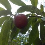 Top 10 Must Have Fruit Trees To Grow in the Sub-tropics